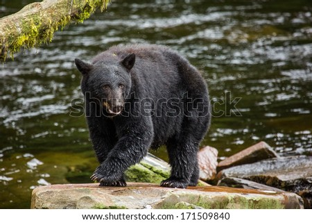 Black Bear, Alaska - stock photo