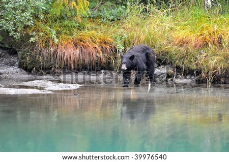 Black bear at Mendenhall Glacier