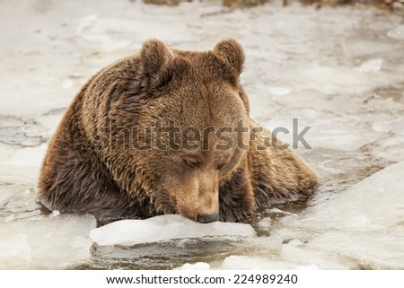 Black bear brown grizzly playing in the ice water