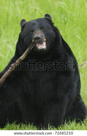Black Bear chewing on a stick or branch