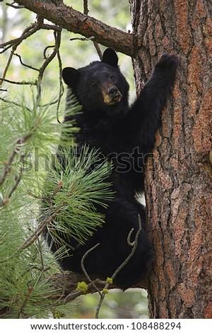 "Black Bear climbing a large pine tree, ""Tree Hugger"" (environmental symbolism) - stock photo"
