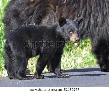 Black Bear Cub - stock photo