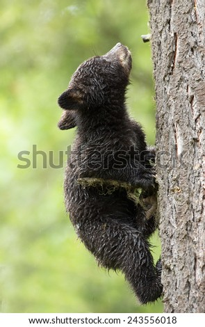 Black bear cub going up in a tree - stock photo