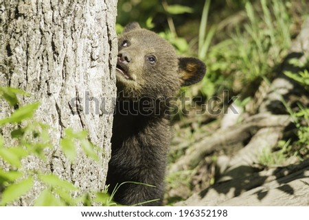 Black Bear Cub in a tree - stock photo