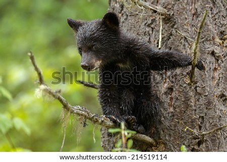 Black bear cub in a tree - stock photo