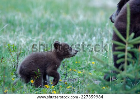 Black bear cub looks up to mother - stock photo