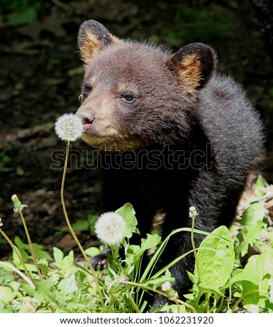 Black bear cub smelling a dandelion flower head