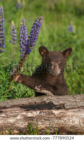 Black Bear Cub (Ursus americanus) Holds On To Lupine - captive animal