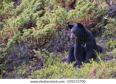 Black Bear cub watching below. - stock photo