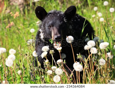 Black Bear Eating Dandelions - stock photo