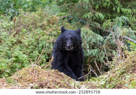 Black Bear emerges from the forest