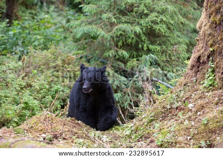 Black Bear emerges from the rainforest