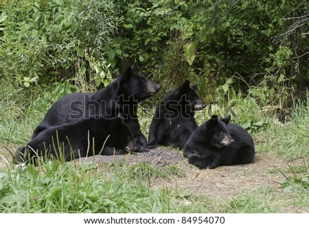 Black Bear Family Portrait.  Female black bear (Ursus Americanus) and three cubs relaxing in forest meadow.