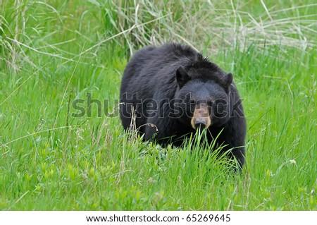 Black Bear Grazing in Yellowstone National Park - stock photo