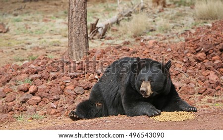 Black bear guarding its food - Bearizona Wildlife Park, Williams, Arizona