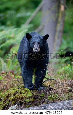 Black Bear hunting in British Columbia, Canada