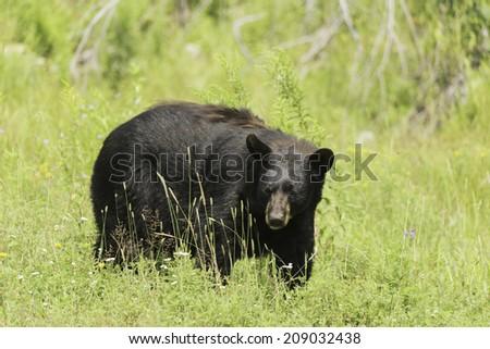 Black bear in a field - stock photo