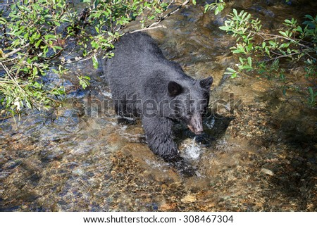 Black bear in a stream from above - stock photo