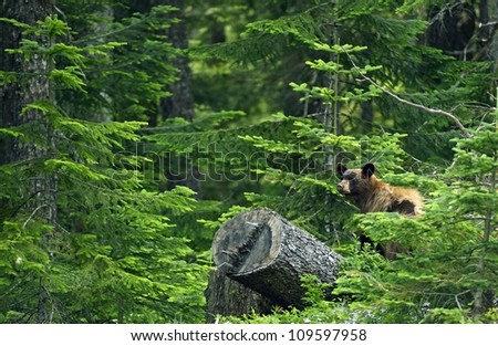 Black Bear in Forest - British Columbia, Canada. Black Bear in His Habitat. Canadian Wildlife Photography Collection. - stock photo