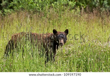 Black Bear in Summer - British Columbia, Canada. Canadian Wildlife Photography Collection. - stock photo