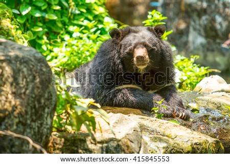 black bear in the nature