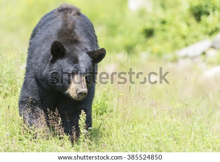 Black bear in the summer - stock photo