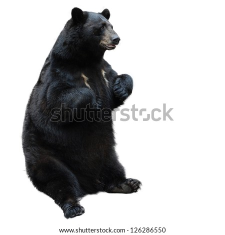 black bear isolated on white