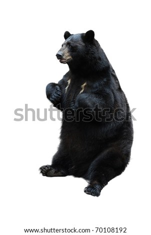 black bear isolated on white - stock photo
