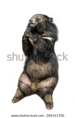 black bear isolated on white background. - stock photo