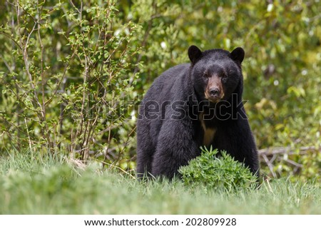 Black bear looks angry - stock photo