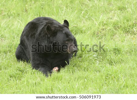 Black bear on green grass with piece of meat between paws
