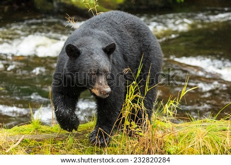 Black bear searching for salmon, Alaska. - stock photo