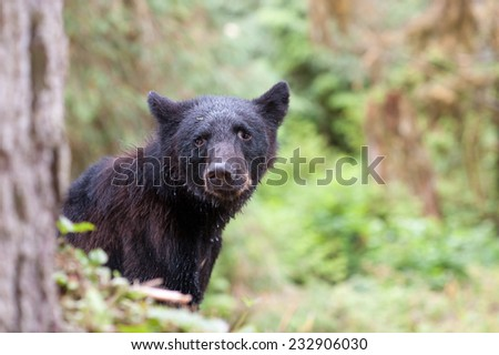 Black Bear sitting at the edge of a drop looking at photographer - stock photo
