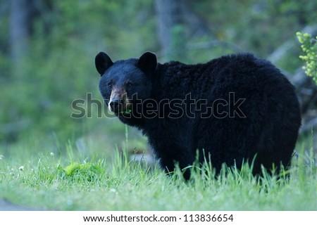 Black Bear sow in lush green grass near Tower Falls, Yellowstone National Park, Montana / Wyoming - stock photo