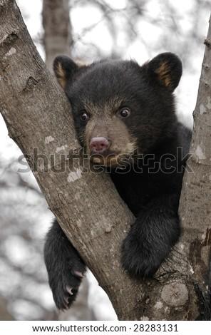 Black Bear (Ursus americanus) Cub Hangs in Tree - captive animal - stock photo