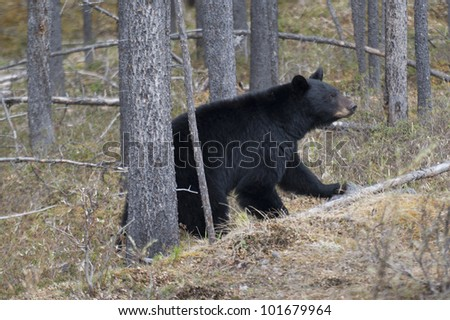 Black bear (Ursus americanus) walking in a forest, Jasper National Park, Alberta, Canada - stock photo