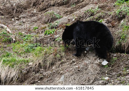 black bear wandering on cliff in spring hurricane ridge, olympic national park, washington, usa