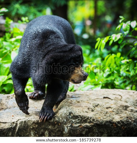 Black bears - stock photo