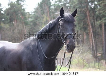 Black beautiful horse with bridle