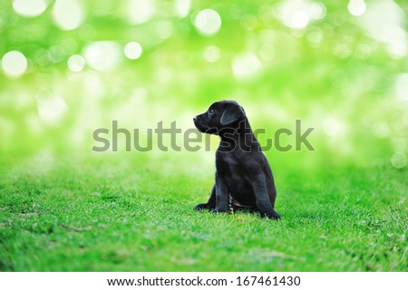 black beauty puppy on the grass in park  - stock photo