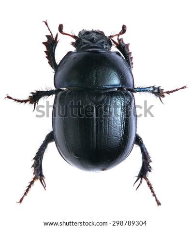 black beetle isolated on white background. Macro. - stock photo