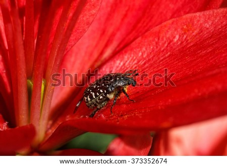 black Beetle Tropinota hirta on the red flower leaves - stock photo