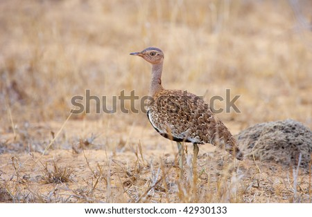 Black-bellied Bustard (Eupodotis melanogaster) walking in savannah in South Africa