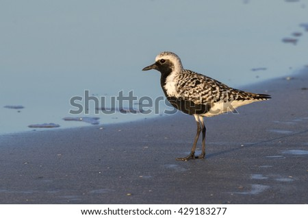 Black-bellied, or grey plover (Pluvialis squatarola) in breeding plumage on the ocean beach, Galveston, Texas, USA.