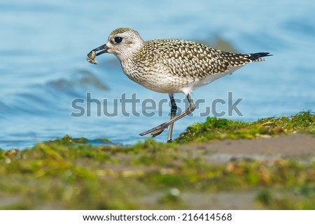 Black-bellied Plover having a snack. - stock photo