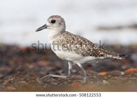 Black-bellied plover (Pluvialis squatarola) walking on beach, Curry Hammock, Florida, USA