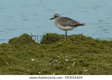 Black-bellied Plover standing in the moss at the edge of the water.