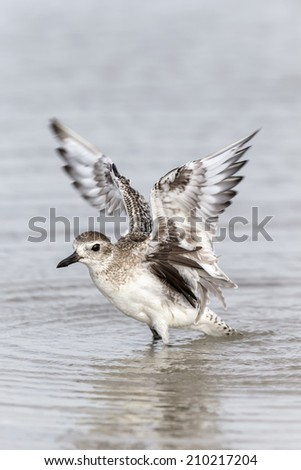 Black bellied Plover take off - stock photo