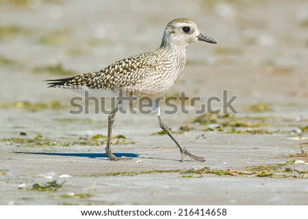 Black-bellied Plover walking on the beach. - stock photo