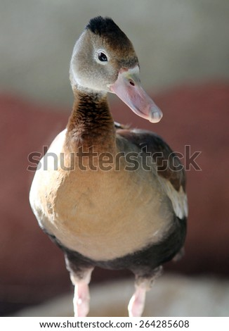 Black-bellied whistling duck (Dendrocygna autumnalis) - stock photo